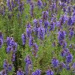 Hyssop Officinale Oil