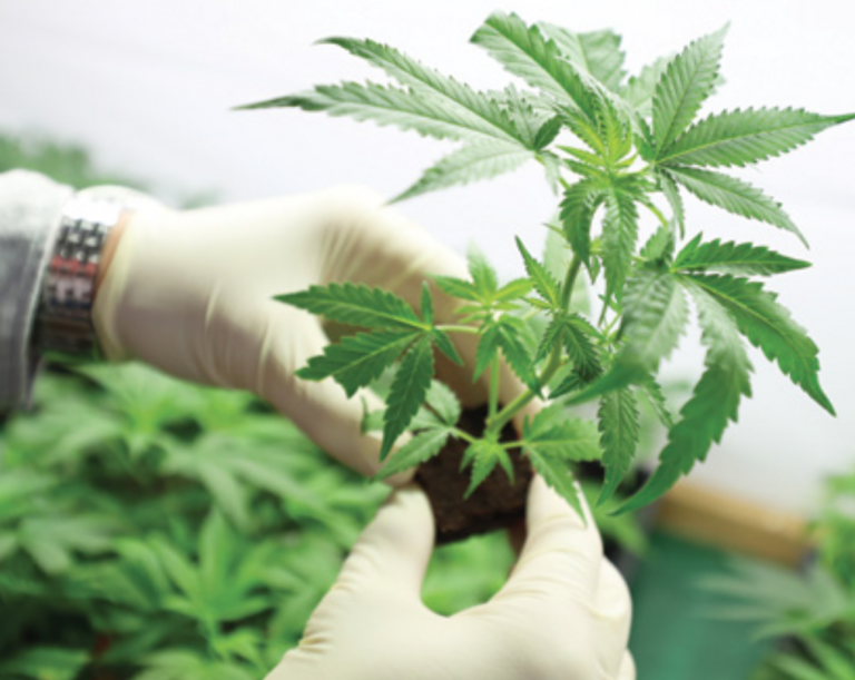 the confusions between hemp and marijuana Hemp/industrial hemp and marijuana are two distinct varieties of the same plant species the word hemp has been in the english language for over 800 years the word marijuana is only 100 years old from the first settling of n america until the 1030's, hemp was the most common term for.
